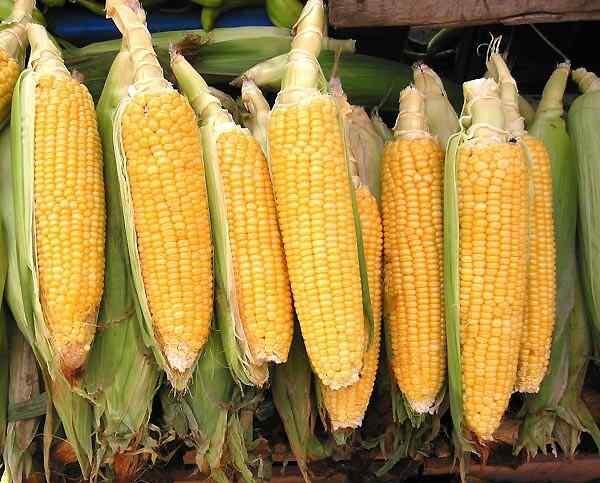 Выбираем правильный сорт кукурузы